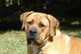 Boerboel dog — Stock Photo