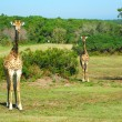 South African giraffes — Stock Photo #7714964