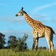 African Giraffe — Stock Photo #7715020