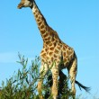 Stock Photo: African Giraffe