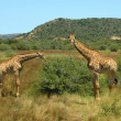 South African giraffes — Stock Photo #7717290