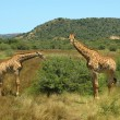 Stock Photo: South African giraffes