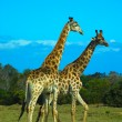 Stock Photo: African animals