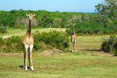 South African giraffes — Stock Photo