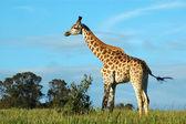African żyrafa — Zdjęcie stockowe