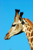 Giraffe head portrait — Stock Photo