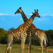 Giraffes South Africa — Stock Photo