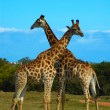 Постер, плакат: Giraffes South Africa