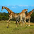 African giraffes — Stock Photo #7776554