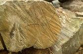 Saw cut oak logs — Stock Photo
