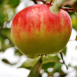 Royalty-Free Stock Photo: Fresh apple on tree