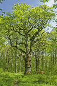 Old oak tree in swedish forest — Stock Photo