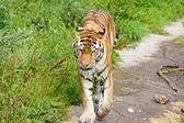 Tiger Panthera tigris altaica — Stock Photo