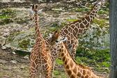 Giraffa camelopardalis — Stock Photo