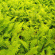 Stock Photo: Ferns in forest