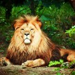 Magnificent lion — Stock Photo
