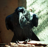 Common Raven — Stock Photo