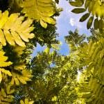 Tree canopy — Stock Photo