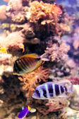 Colorful cichlid from lake malawi, Africa — Stock Photo
