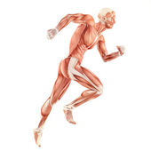 Running man muscles anatomy system isolated on white background — Stockfoto