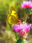 The yellow butterfly on a flower — Photo