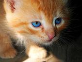 Blue-eyed red kitten — Stock Photo