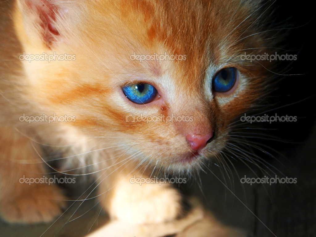 Blue-eyed hunting red kitten       — Stock Photo #6886171
