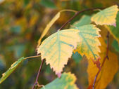 Yellow autumn leaves of a linden — Stock Photo