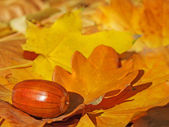 Acorn on autumn leaves — Stock Photo