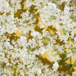 Small and delicate white flowers background — Stock Photo #6829935