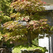 Maple bonsai — Stock Photo