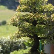 Stock Photo: chinensis elm bonsai