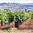 Vineyard of Napa in California. — Stockfoto