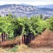 Vineyard of Napa in California. — Stock Photo