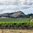 Vineyard of Napa in California. — Stock Photo
