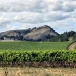 Vineyard of Napa in California. — Stock Photo #7145570