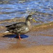 Mallard duck - Stock Photo