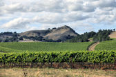 Vineyard of Napa in California. — 图库照片