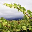 Grapevine — Stock Photo #7309217