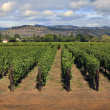 Stock Photo: Vineyard in Napa, California