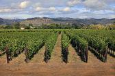 Vineyard in Napa, California — Stock Photo