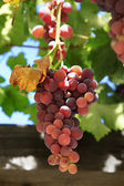 Grapes on vine sunny day — Stock Photo