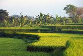 Terrazas de arroz — Foto de Stock
