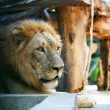 King-lion - Stock Photo