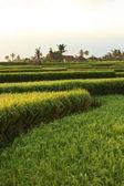 Terrazas de arroz en bali. indonesia — Foto de Stock