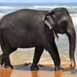 The elephant at coast of ocean - Foto Stock