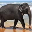 Royalty-Free Stock Photo: The elephant at coast of ocean