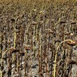 Dried sunflower field ready for collection pipes — Stock Photo