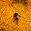 Stock Photo: Bumblebee on sunflower collects nectar