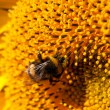 Bumblebee on sunflower collects nectar — Stock Photo